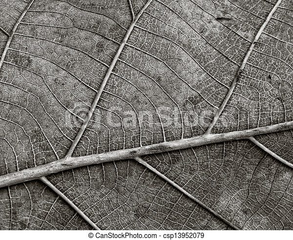 Black and White Teak Vein Leaf - csp13952079