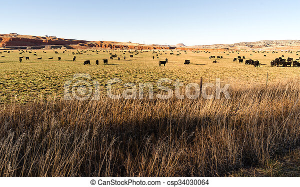Black Angus Cattle Graze Large Ranch Wyoming Domestic Animal - csp34030064