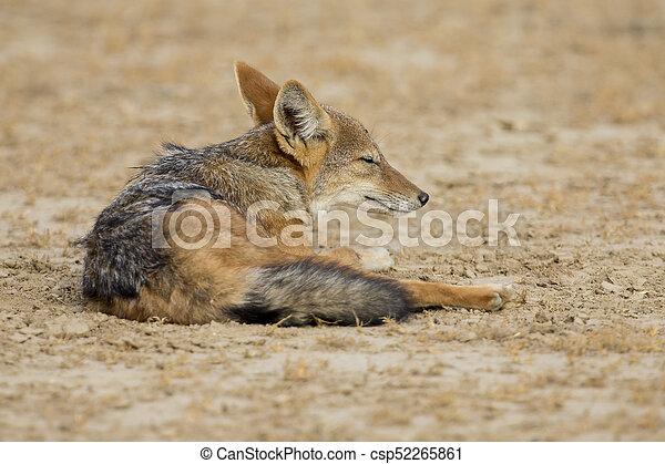 Black Backed Jackal lay down to rest in Kalahari - csp52265861