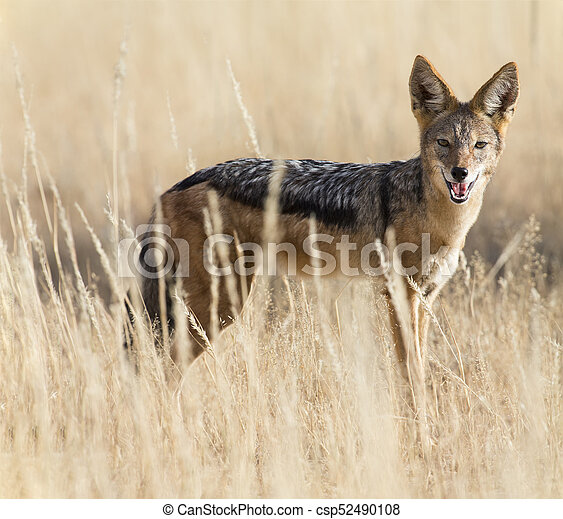 Black Backed Jackal walking in the Kalahari looking for food - csp52490108