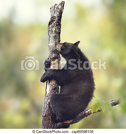 Black bear on a tree - csp60598159