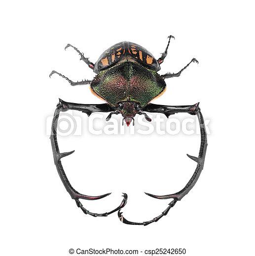 Black big beetle on white background isolated - csp25242650