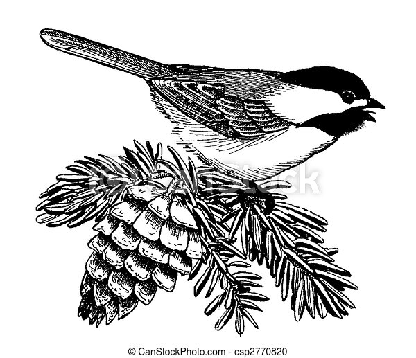 black capped chickadee on spruce poecile atricapillus rh canstockphoto com Chickadee Outline chickadee clip art free