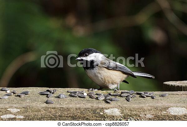 Black-capped Chickadee - csp8826057