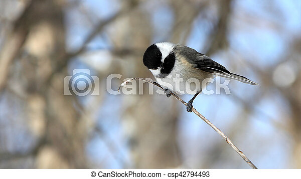 Black-capped Chickadee - csp42794493