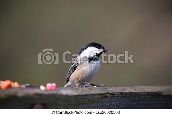 Black capped Chickadee - csp20020503