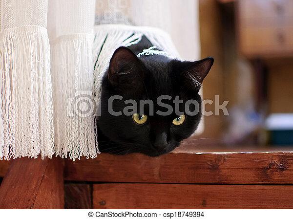 black cat behind curtain - csp18749394