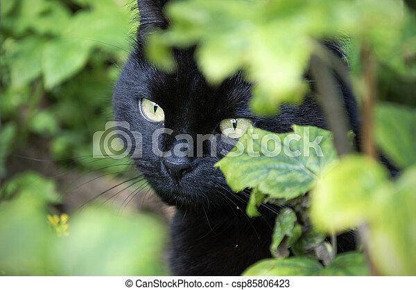 Black cat in the garden - csp85806423