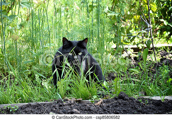 Black cat in the grass of garden - csp85806582