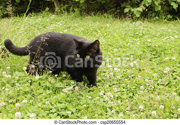 black cat in the green grass - csp20655554