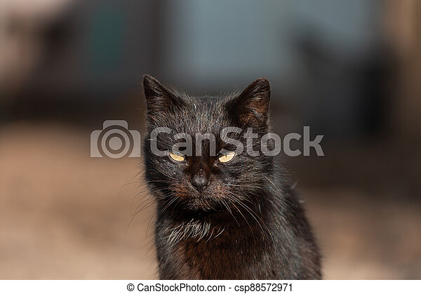 black cat with green eyes sitting in the yard close-up - csp88572971