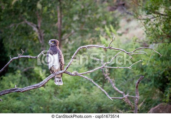 blackchested snake eagle sitting on a branch black