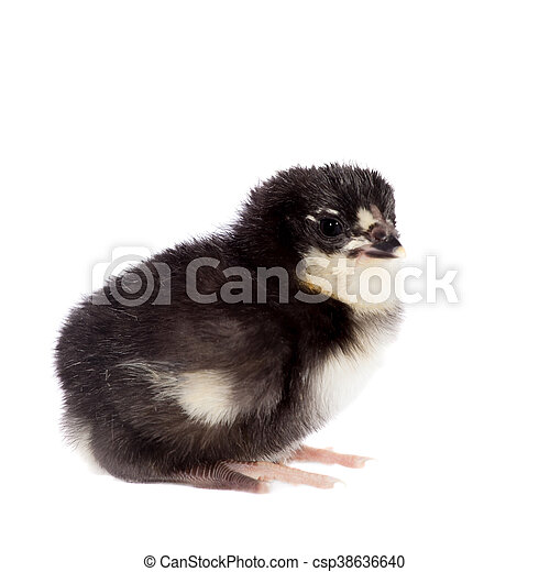 Black chick on white background - csp38636640