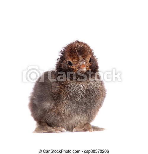 Black chick on white background - csp38578206