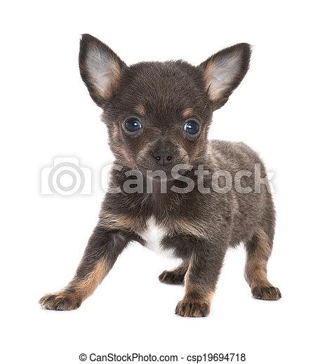 Chihuahua Svart