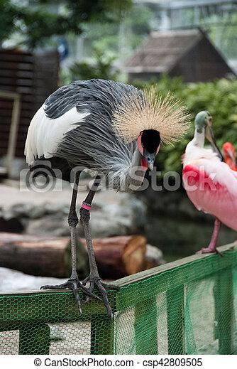 Black crowned crane - csp42809505