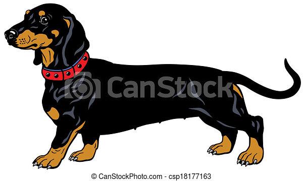 black dachshund - csp18177163