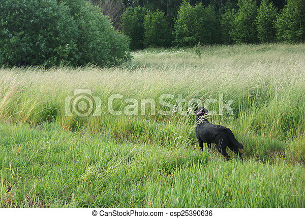 Black dog in the field. - csp25390636