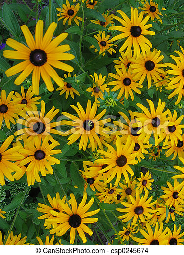 Black Eyed Susans - csp0245674