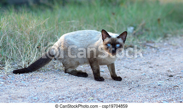 Black face cat with blue eyes - csp19704859