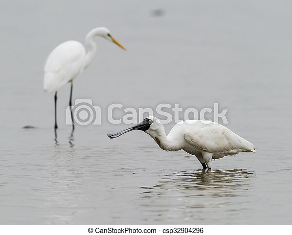 Black-faced Spoonbill in shenzhen China, This species is known as a winter migrant in China. IUCN is now listed this species as an Endangered (EN) bird (Current IUCN Red List category). - csp32904296