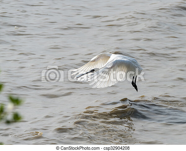 Black-faced Spoonbill in shenzhen China, This species is known as a winter migrant in China. IUCN is now listed this species as an Endangered (EN) bird (Current IUCN Red List category). - csp32904208