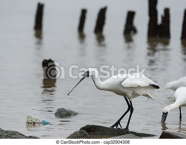 Black-faced Spoonbill in shenzhen China, This species is known as a winter migrant in China. IUCN is now listed this species as an Endangered (EN) bird (Current IUCN Red List category). - csp32904308