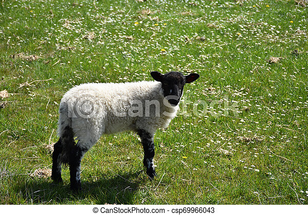 Black Faced Young Lamb in a Field with Small Flowers - csp69966043