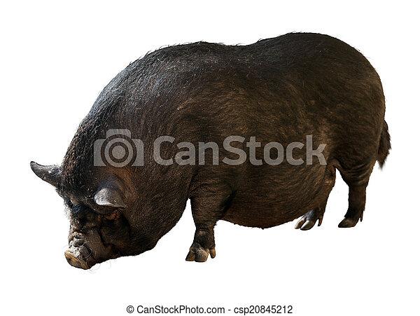 Black farm pig over white background   - csp20845212