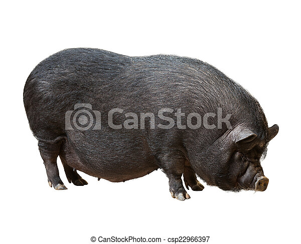 Black farm pig over white background   - csp22966397