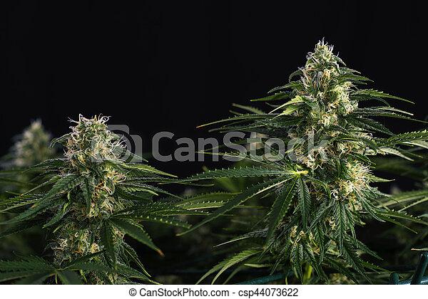 (black, feuilles, strain), cannabis, visible, kola, cheveux, trichomes, russe, marijuana - csp44073622