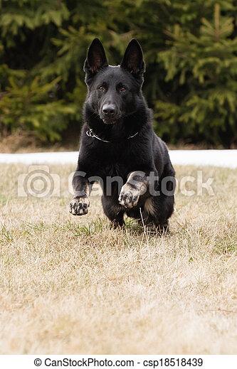 Running Black German Shepherd In Winter On Snow