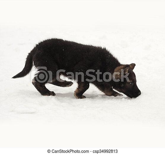 Black German Shepherd Puppy Going In Snow Black German Shepherd