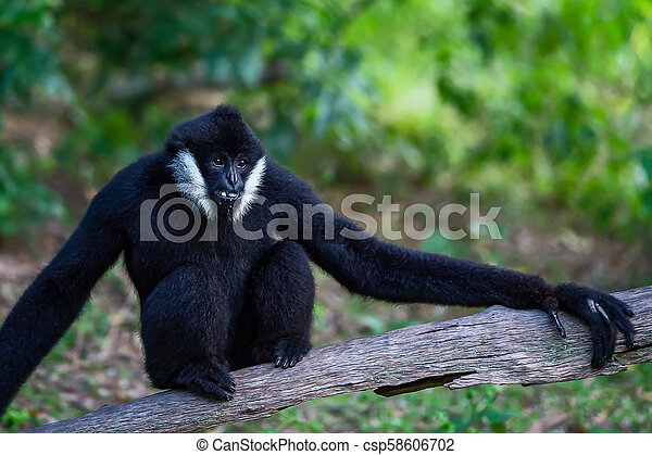 Black Gibbon males. - csp58606702