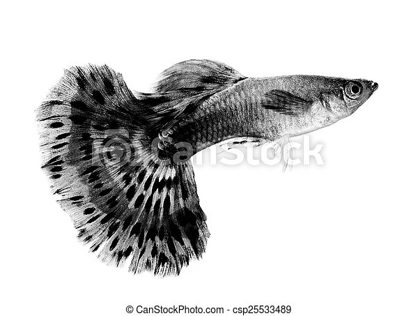 Black Guppy | Black Guppy Fish Isolated On White Background Pictures Search