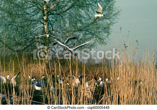 Black-headed gulls formed colony that has built nests - csp60005448