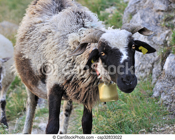 black-headed sheep - csp32833022