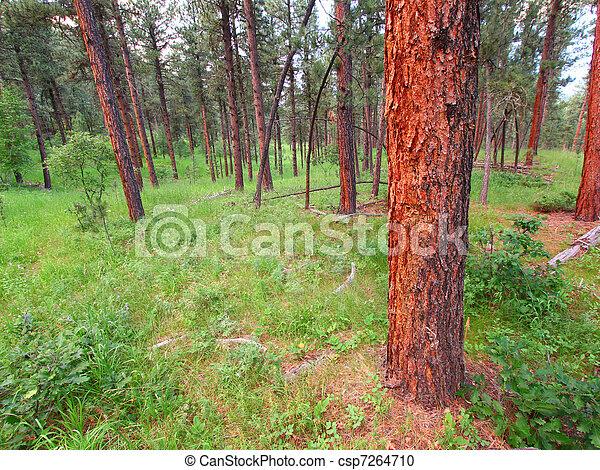 Black Hills National Forest - csp7264710