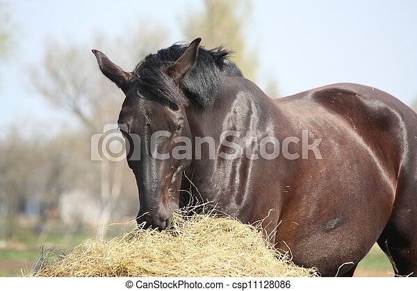 Black horse eating hay - csp11128086