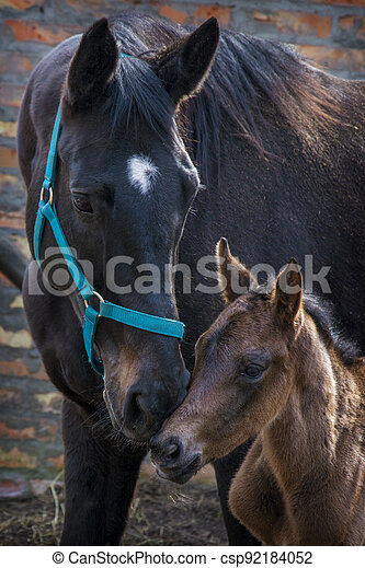 Black horse female with foal in a farm yard in spring - csp92184052