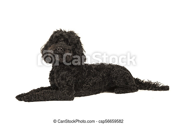 Black labradoodle lying down, looking up isolated on a white background