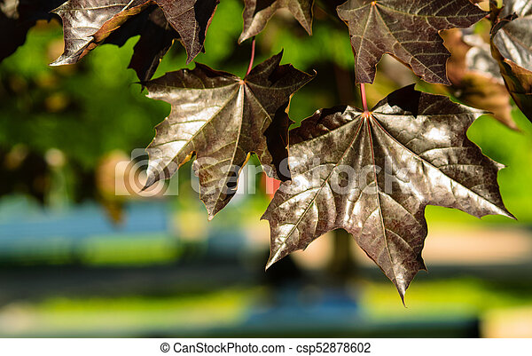 black leaves maple - csp52878602