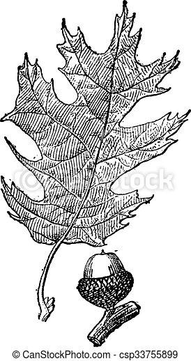 Black oak or Quercus velutina vintage engraving - csp33755899