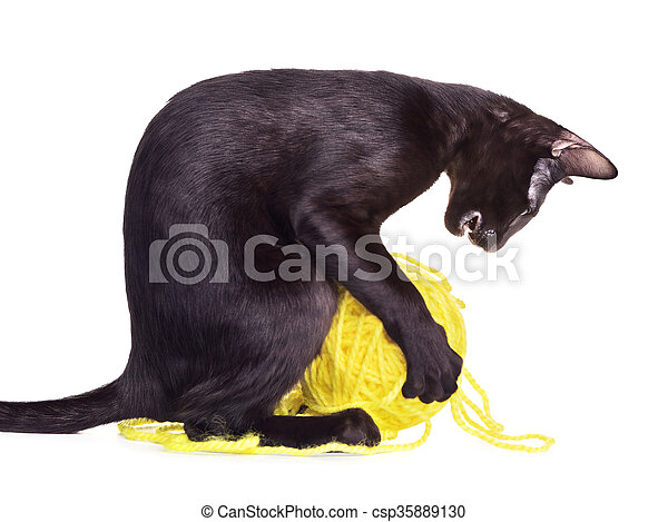 Black Oriental Shorthair Cat Playing With Woolen Ball - csp35889130