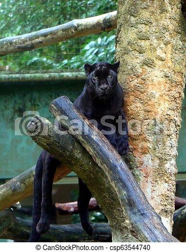 Black panther (Panthera pardus) sitting on tree branch, also known as black jaguars (Panthera onca). - csp63544740