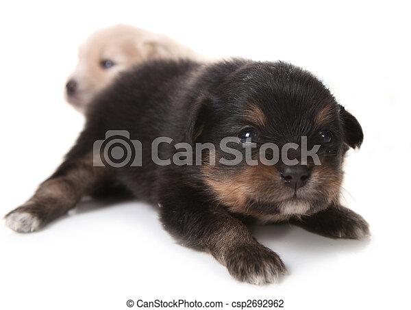 Black Pomeranian Newborn Puppy On White With Eyes Open
