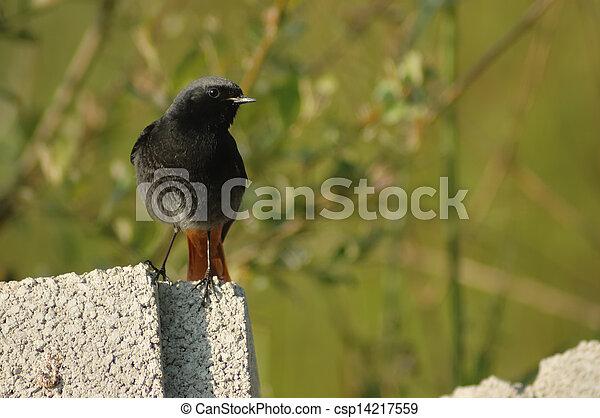 black redstart (Phoenicurus ochruros) - csp14217559