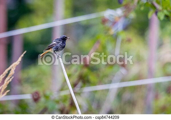 Black redstart (Phoenicurus ochruros) - csp84744209