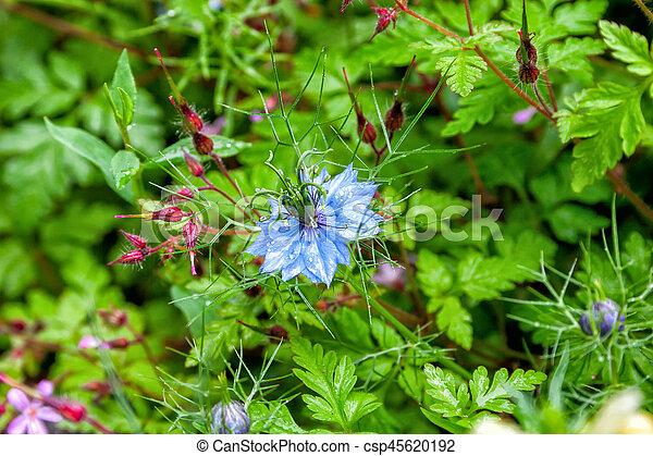 Black seed, nigella sativa plant, blue flower. selective focus.