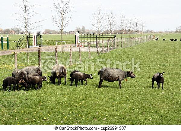 Black sheep grazing - csp26991307
